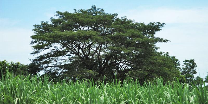 parota tree wood facts