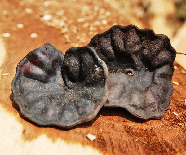 guanacaste tree wood mexico